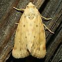 Moth - Azenia implora
