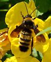 Bombus possibly pensylvanicus on Tecoma stans - Bombus pensylvanicus - male