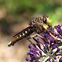 Promachus bastardii - male