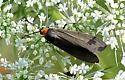 Yellow-collared Scape Moth - Cisseps fulvicollis