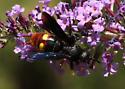 Large Wasp - Scolia dubia