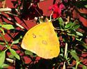 Orange-barred Sulphur - Phoebis philea - female