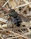 Possibly another tachinid? - Peleteria