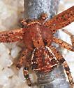 Ground Crab Spider - Xysticus