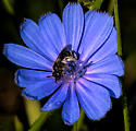 Bee or Fly - Lasioglossum