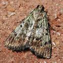 Greenish Moth - Epipaschia superatalis