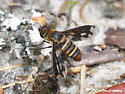 Gorgeous Bee Fly - Exoprosopa fascipennis