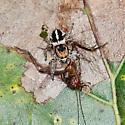 Orbus Paradise Spider Habronattus orbus? - Habronattus orbus
