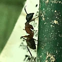 Camponotus - female
