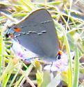 Gray hairstreak - Strymon melinus