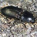 Large Click Beetle - Selatosomus