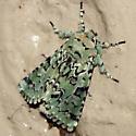 Major Sallow  Moth - Hodges #10007 - Feralia major