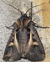 Master's Dart - Feltia herilis