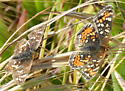 Crescent - Phyciodes orseis - Phyciodes pulchella - male - female