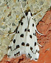 Spotted Peppergrass Moth - Eustixia pupula