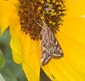 2011 Sandy Hook Bioblitz Moth #3 - Loxostege cereralis