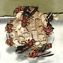 Paper Wasps - Polistes metricus - female