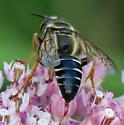 Tachytes distinctus - male