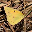 Clouded Sulphur butterfly? - Colias eurytheme