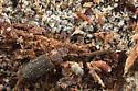 Flat bark beetle - Uleiota truncata