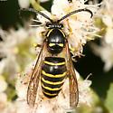 Northern Aerial Yellowjacket - Dolichovespula norvegicoides - male