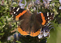 Small Orange and Black Butterfly from the Texas Hill Country - Vanessa atalanta
