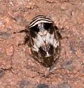 Clastoptera ? - Clastoptera