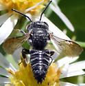 Bee - Coelioxys