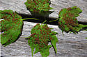 Maple leaf red round galls - Vasates quadripedes