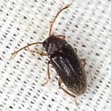 Toe-winged Beetle - Ptilodactyla