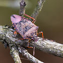 predatory stink bug - Podisus serieventris