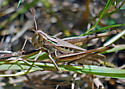 Grasshopper species - Syrbula admirabilis - female