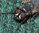 Fly - Musca domestica