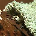Lacewing larva - Leucochrysa pavida