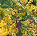 Harvestman with white ring at base of patella