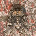 Otter Spiramater Moth - Spiramater lutra