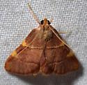 Yellow-fringed dolichomia moth - Hypsopygia olinalis- - Hypsopygia olinalis