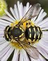Leaf-cutter Bee - Anthidium