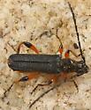 longhorn beetle - Callimus cyanipennis - male