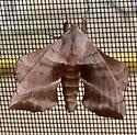Walnut Sphinx  - Amorpha juglandis