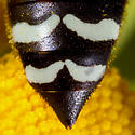 Unknown Fly - Bembix americana