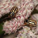Pachybrachis othonus? - Pachybrachis othonus
