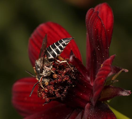 Cuckoo bee (Coelioxys rufitarsus?) - Coelioxys