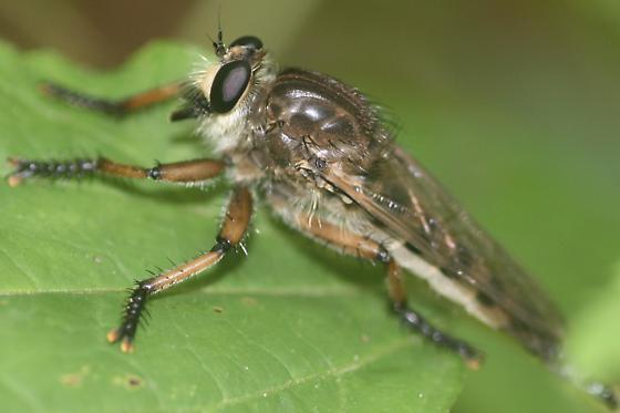 Promachus - Promachus vertebratus