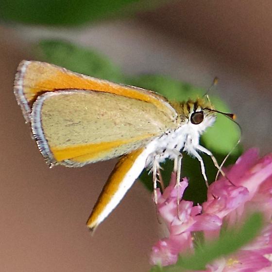 Grass Skipper - Orange Skipperling? - Oarisma edwardsii