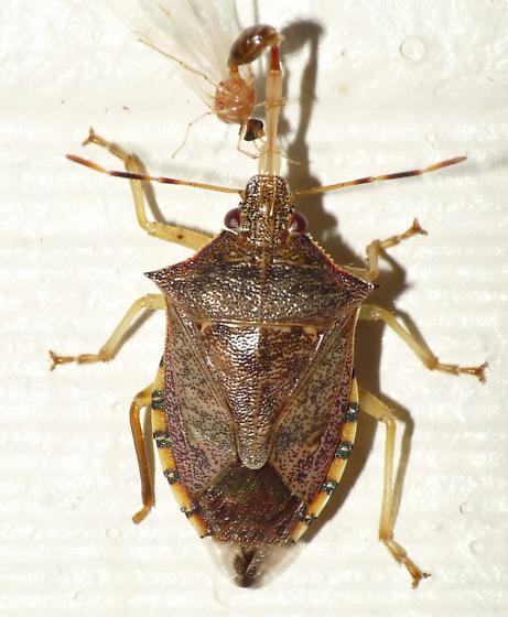 Stink Bug - Podisus maculiventris