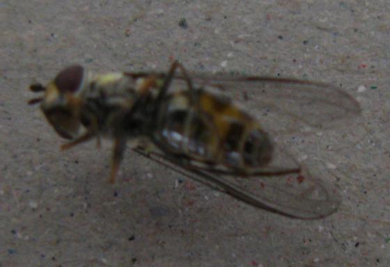 Diptera, - Parasyrphus