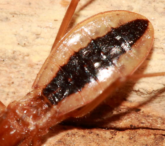 Assassin Bug - Fitchia aptera