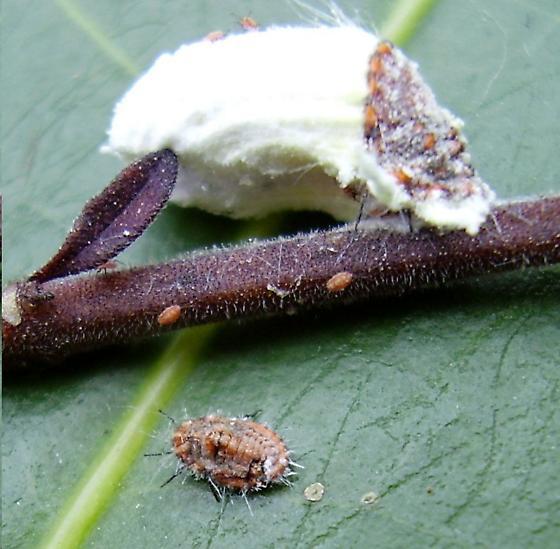 Cottony cushion scale - Icerya purchasi - female