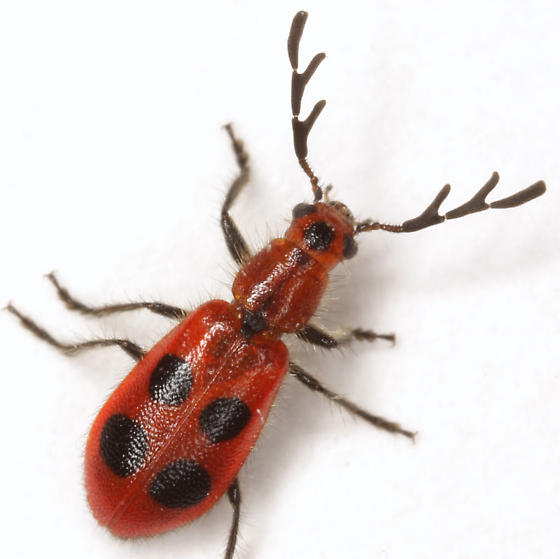 Pelonides quadrinotata (Haldeman) - Pelonides quadrinotata - male